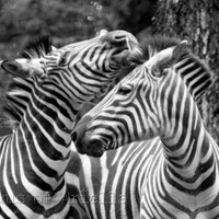 Zebra Print Decor, Black and White Photo, Wildlife Photography, Fine Art Photo, 5x7 or 8x10