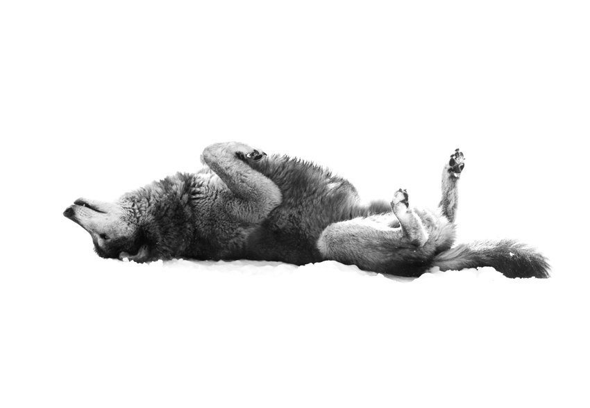 Wolf lying on back - photo#7