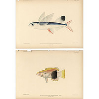 One Kings Lane - A Vintage Marine Mood - Hawaiian Fish Prints, 1903,   Pair