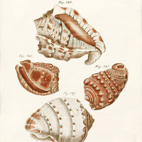 Antique Shell Art Print - 8 x 10 - Cafflices Shells Wall Decor