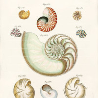 Antique Nautilus Shell Art Print - 8 x 10 - Nautilus Shells 2 Wall Decor