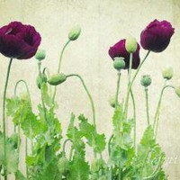 Fine Art Botanical Poppy Photograph