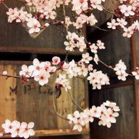 Plum Blossoms and Apple boxes 