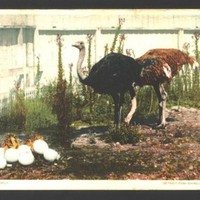 Vintage Postcard 1906 Ostrich pair with babies and eggs, Happy Family Los Angeles, California cancel