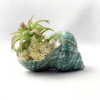 Turquoise Shell Air Plant by seaandasters on Etsy