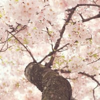 Sanctuary - Japanese Cherry Blossom - Art Print by CMcDonald
