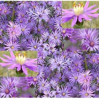 ASTER Flower Seeds SILKY ASTER PERENNIAL Purple Bloom Silver Leaves Zone 2-9 - 8-12 Inches (10000 Seeds - 1/4 oz):Amazon:Patio, Lawn &amp; Garden