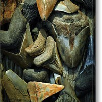 More Megalodon Teeth Acrylic Print By Rebecca Sherman