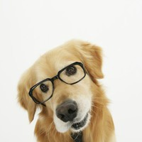 Golden Retriever Wearing Eyeglasses and Necktie Photographic Print at Art.com
