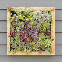 Vertical Mosaic Succulent Living Wall Box KIT 155 by sosucculent