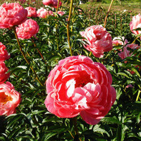 Brooks Gardens Peonies  — Oregon peony farm peony plants iris and Coral Charm peonies