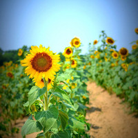 Sunflower Field Detour Series No 1 5x7 Photo by ItRunsInTheFamily