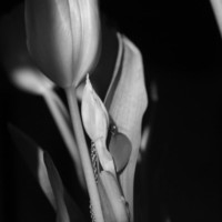 Shadow Tulip Black and White  Art Print by Kristina McComb