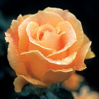 Easy Going™ Yellow Apricot Floribunda Rose