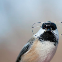 $25.00 Bird Brain  Chickadee in Glasses 8x10 by instantt on Etsy