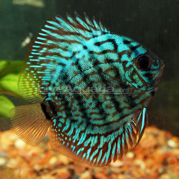 Tropical Fish For Freshwater Aquariums From