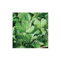 Amazon.com: Cilantro Herb 100 Seeds -Coriander - GARDEN FRESH PACK!: Patio, Lawn & Garden