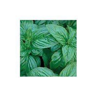 Amazon.com: Genovese Sweet Basil Herb 100 Seeds -GARDEN FRESH PACK!: Patio, Lawn & Garden