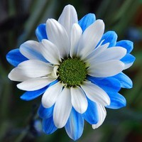 Amazon.com: Ballad of Dueana Chrysanthemum Flower Seeds 50 Stratisfied Seeds: Everything Else