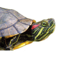 Red Ear Slider