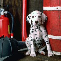 Dalmatian Puppy With Fireman's Helmet  Photograph by Garry Gay - Dalmatian Puppy With Fireman's Helmet  Fine Art Prints and Posters for Sale