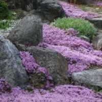 Lavender Creeping Thyme, Walk on Me, 200 Seeds, Perennial Flower, Lemon Scent