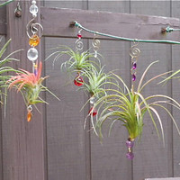 Air Plant Hanging Window Ornaments Assorted 3 pack by TheLivingArt