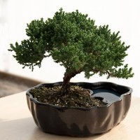 Amazon.com: Zen Reflections Juniper Bonsai: Home &amp; Kitchen