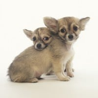 2 Long-Haired Chihuahuas Photographic Print by Pat Doyle at Art.com