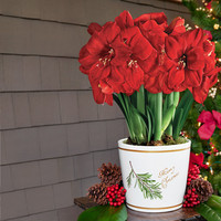 3-in-1 Grand Trumpet® Red Amaryllis in Merry Christmas Container