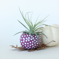 Air Plant Planter with Air Plant - Purple with white dots
