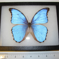 GIANT METALLIC BLUE MORPHO DIDIUS REAL FRAMED BUTTERFLY