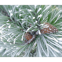 Nature Photography Winter Pinecones green white frosty brown