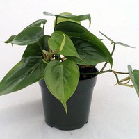 Heart Leaf Philodendron - Easiest House Plant to Grow - Philodendron cordatum