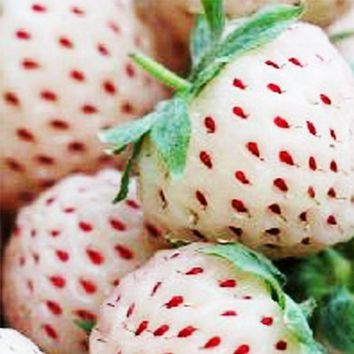 50 White Soul Strawberry Fragaria Fruit Flower Berry Seeds~~nutritious