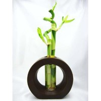 Live Spiral 3 Style Lucky Bamboo Plant Arrangement with Ceramic Vase Brown