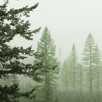 Nature Photography Nature Landscape Spring Forest Landscape Photograph of Tamarack Trees in the Mist 8x8