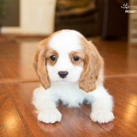 Buy a Cavalier King Charles Spaniel puppy , from Dreamy Puppy available only at DreamyPuppy.com Place a $200.00 deposit online!